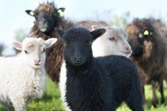绵羊和一只好奇小的羊羔 库存图片