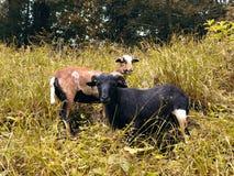 绵羊和公羊在草 库存图片