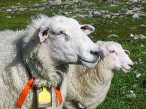 绵羊和她的羊羔 免版税库存图片