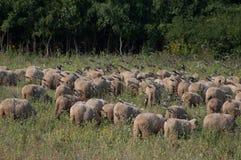 绵羊和椋鸟群  免版税库存图片