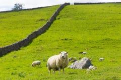 绵羊和石块墙在约克夏山谷英国英国 图库摄影