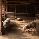 绵羊和羊圈 图库摄影