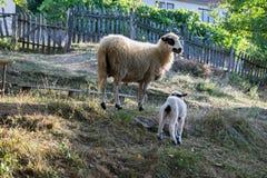 绵羊和羊羔在草甸 库存照片
