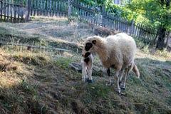 绵羊和羊羔在草甸 图库摄影