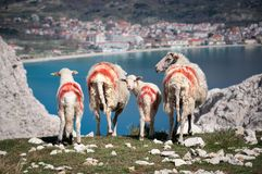 绵羊和羊羔群与红色绘了标号 库存图片