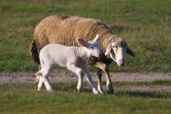 绵羊和逗人喜爱的白色羊羔runing 库存照片