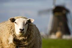 绵羊和风车 免版税库存照片