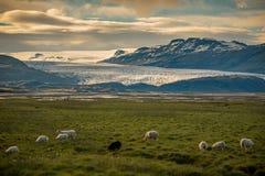 绵羊和Vatnajokull冰川牧群在领域的在背景,冰岛夏天中 免版税库存图片