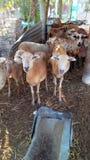 绵羊在一个大农场在畜栏Falso,格雷罗州,墨西哥 免版税库存照片