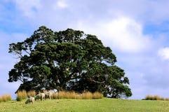 绵羊在小山顶部在农村新西兰 免版税库存照片