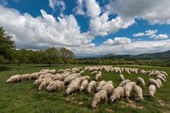 绵羊在托斯卡纳 库存图片