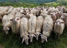 绵羊在托斯卡纳 库存照片