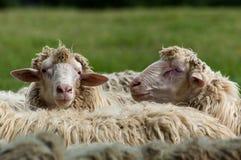 绵羊在托斯卡纳 免版税库存图片