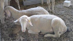 绵羊在摊位的公羊谎言 家畜畜牧业, 股票录像