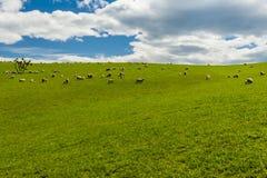 绵羊在新西兰 库存照片