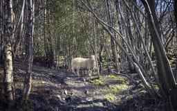 绵羊在森林在北部威尔士 库存照片