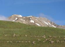 绵羊在欧特普罗旺斯在de vars col附近停放mercantour在有雪加盖的山的晴朗的草甸 免版税图库摄影