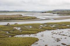 绵羊在海滩附近吃草在Maghera, Ardara, Co Donegal,爱尔兰 免版税库存照片