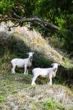 绵羊在看往在乡下农厂小山的照相机的树下在夏天 库存照片