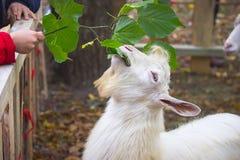 绵羊在秋天结束时 库存图片