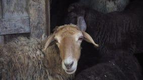 绵羊在笔 股票视频