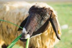绵羊在自然草原农场泰国 库存照片