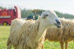 绵羊在自然草原农场泰国 免版税库存图片