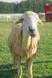 绵羊在自然草原农场 免版税库存照片