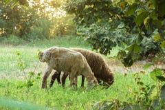 绵羊在草甸吃草 免版税库存图片