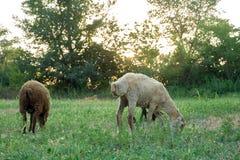绵羊在草甸吃草 库存照片