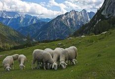 绵羊在阿尔卑斯,斯洛文尼亚 免版税库存图片