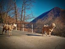 绵羊在阿尔卑斯 免版税库存图片