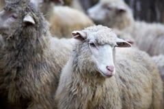 绵羊在阿尔泰农场 灰色群 免版税库存图片