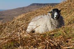 绵羊在高峰地区国家公园 免版税图库摄影