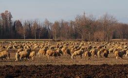 绵羊大群的季节性牲畜移动在意大利北部平原的一个晴朗的冬日  图库摄影