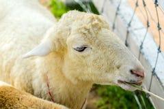 绵羊头 免版税库存照片