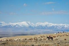 绵羊女孩看管的牧群在大草原 库存照片