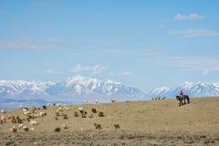 绵羊女孩看管的牧群在大草原 免版税库存图片