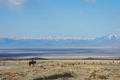 绵羊女孩看管的牧群在大草原 库存图片