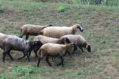 绵羊家庭在黑山 图库摄影