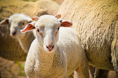 绵羊年轻人 库存照片