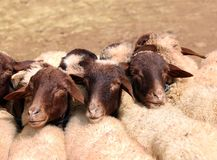 绵羊待售 库存图片