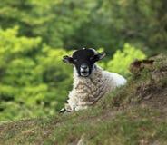 绵羊惊奇了 免版税图库摄影