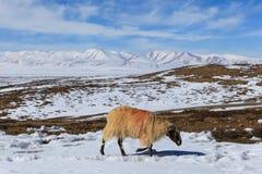 绵羊搜寻在地面上的食物在途中对Kailash山,西藏 免版税库存图片