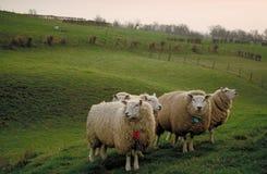 绵羊日落 库存图片