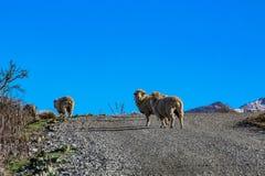 绵羊横渡的土路在乡下区域,新西兰 库存照片