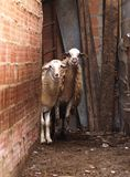 绵羊注意 免版税库存照片