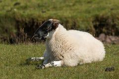 绵羊海湾sunart苏格兰英国欧洲 图库摄影