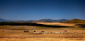 绵羊牧羊人和牧群  免版税库存照片