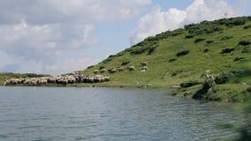 绵羊牧群与后边牧羊人和一条赛跑的狗的在山湖附近 股票视频